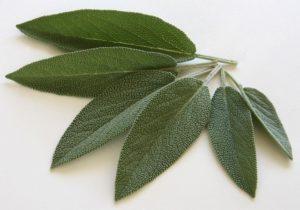 Salbei Blätter auf weißem Hintergrund