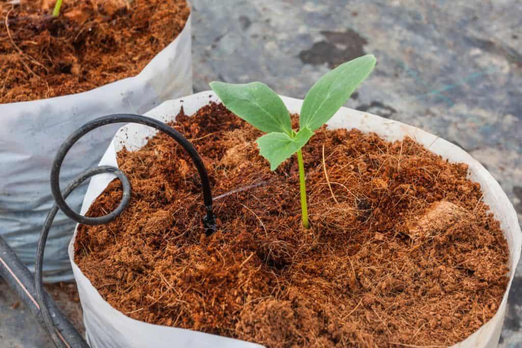 Pflanze wird in Kokossubstrat gezüchtet
