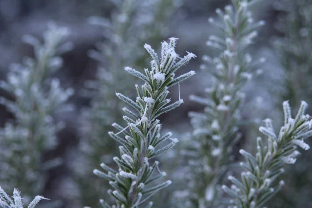 Rosmarin mit Frost im Winter