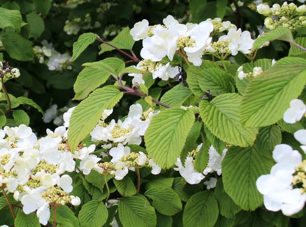 Weiße Kletterhortensienblüte