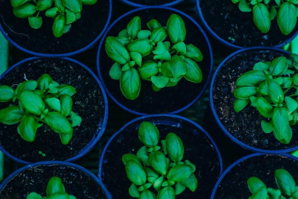 Vermehrung von Basilikum