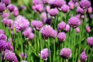 Schnittlauch mit lila Blüte