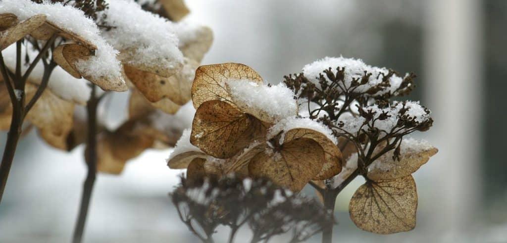 Winterharte Hortensie mit Schnee