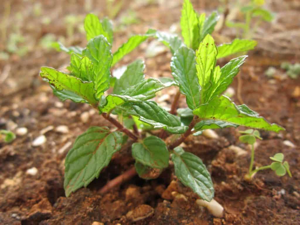 Junge Pfefferminzpflanze