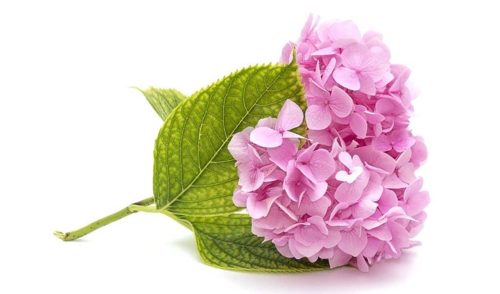 Pinke Hortensie auf weißem Hintergrund