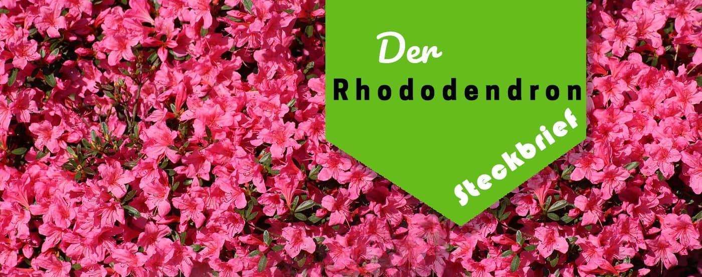 Berühmt ᐅ】Komplette Rhododendron Pflegeanleitung – Perfekte Rhododendren &CI_99