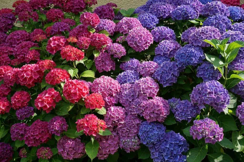 Gartenhortensie in rot und blau