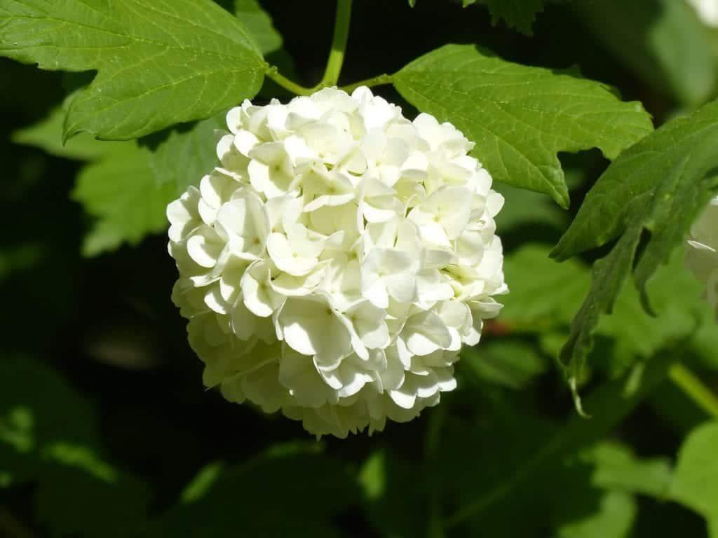Schneeball Hortensie in weiß
