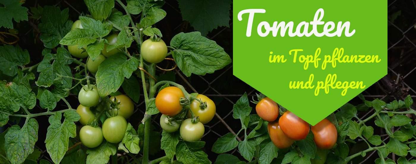 tomatenpflanzen schneiden