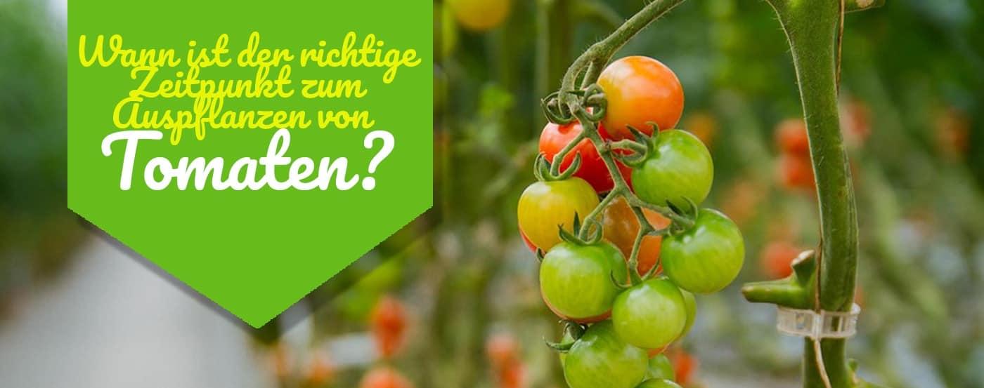 wann tomaten auspflanzen der richtige zeitpunkt f r fette ernten. Black Bedroom Furniture Sets. Home Design Ideas