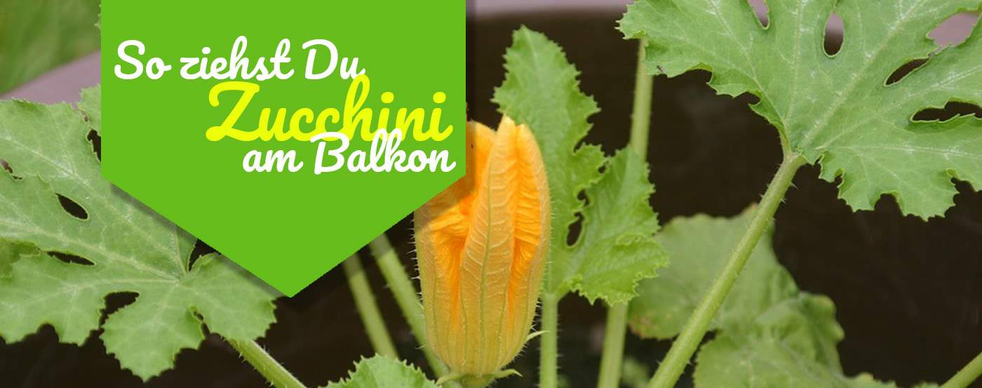ᐅ So Ziehst Du Zucchini Am Balkon 2019
