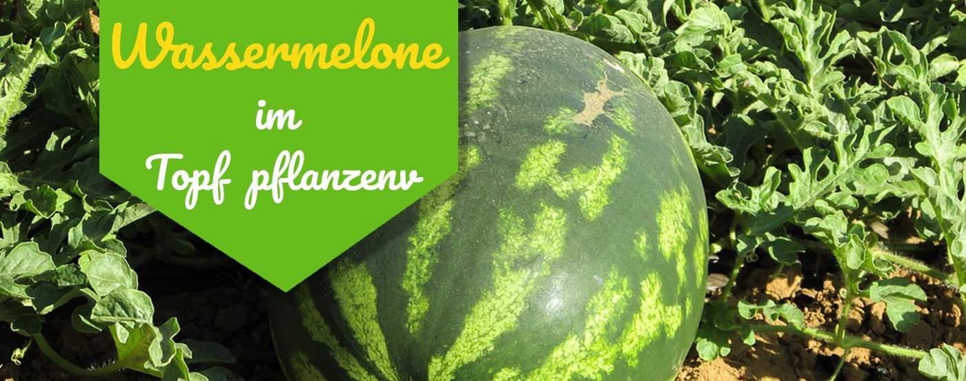 ᐅ So Ziehst Du Wassermelonen Im Topf 2019