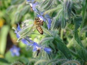 Biene sitzt auf einer Borretsch Blüte