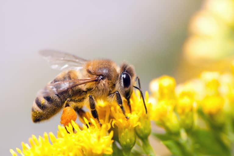 Eine Honigbiene sitzt auf einer gelben Blüte