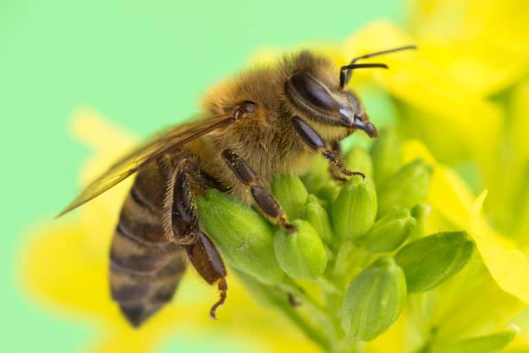 Auf einer Blüte sitzt eine Biene