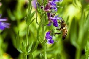 Biene sizt auf Ysop Blüte