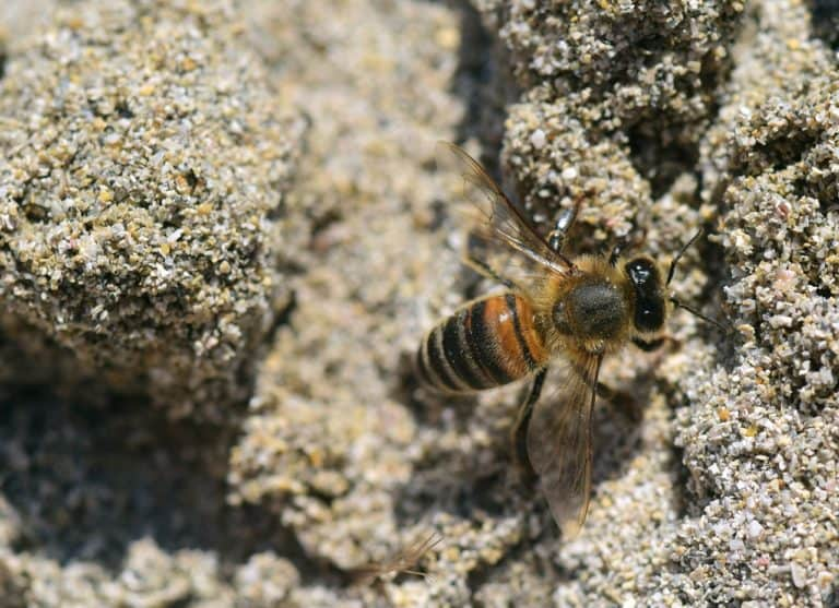 Biene im Sand