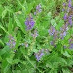 Lila Blüten des Wiesensalbeis